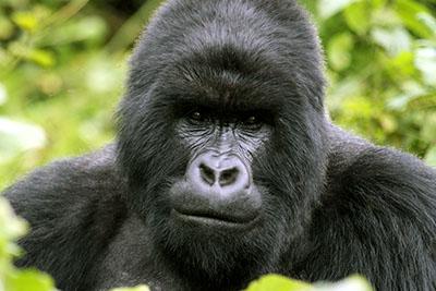 גורילהגורילה - תקשורת  הקוף