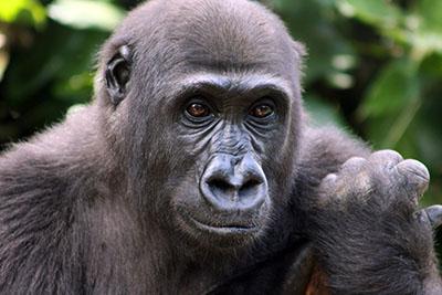 גורילה גורילה - תקשורת  הקוף