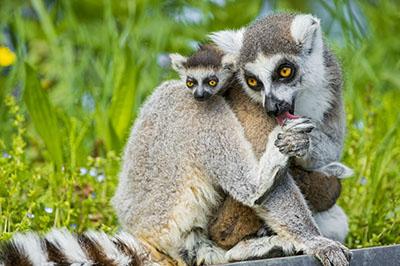 לאמוריםגורילה - תקשורת  הקוף   לאמורים