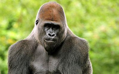 גורילהגורילה - תקשורת  הקוף   _monkey_gorilla