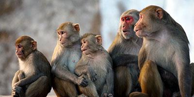 קופים קופים - תקשורת  הקוף   _Monkey-