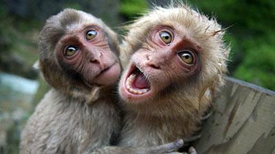קופים קופים - תקשורת  הקוף   Monkeys
