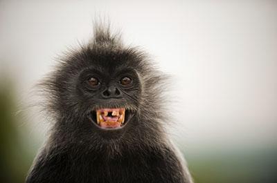 קוףקופים - תקשורת  הקוף   _Monkeys_Two  _orangutan