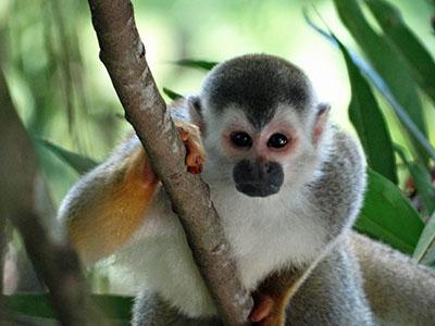 קוףקופים - תקשורת  הקוף   _Monkeys_
