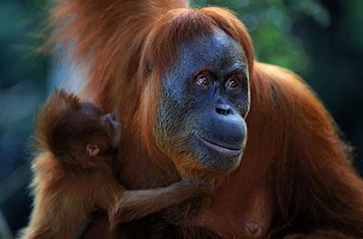אורנג אוטנג אורנג אוטנג קופים - תקשורת  הקוף   _Monkeys_Two  _orangutan