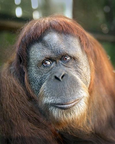 אורנג אוטנגאורנג אוטנג קופים - תקשורת  הקוף   _Monkeys_Two  _orangutan