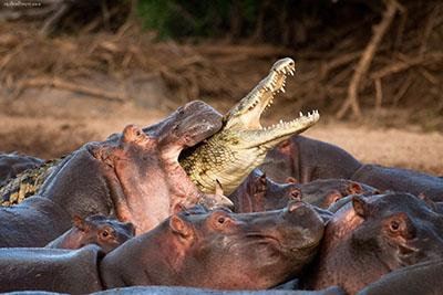 היפופותם נגד  תניןהיפופותם נגד  תנין