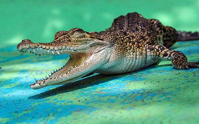 תנין תנין  קרוקודיל  אלגטור