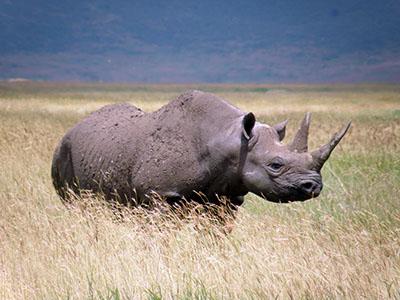 קרנףקרנף   Rhino