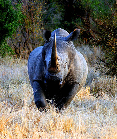 קרנף   Rhinoקרנף   Rhino