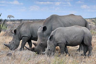 קרנפיםקרנף   Rhino