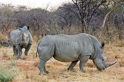 קרנפים קרנף   Rhino