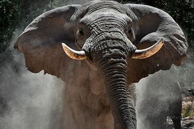 פיל  elephants פיל  elephants