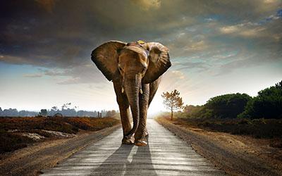 פיל  פיל   פילים   elephants