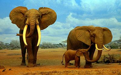 פילים   פיל   פילים   elephants