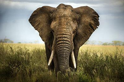 פיל   פילים   elephants