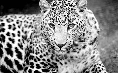 נמרנמר  leopard_muzzle_eyes_predator