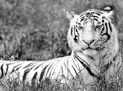 נמרנמר  tiger_resting