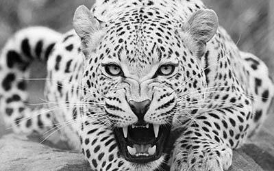 נמר  _leopard_predator_face_teeth_aggression