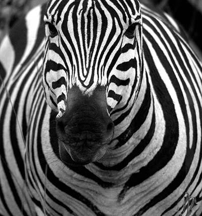 זברה  זברה  Zebra_in_black_and_white