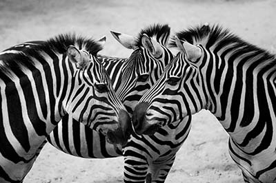 זברות זברות   _zebra--couple-cute-animals