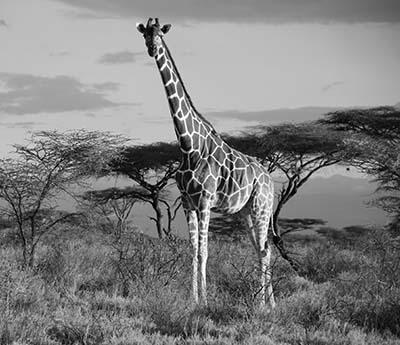 גיראף  Reticulated giraffe Samburu