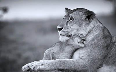 לביאה וגוראריה  לביאה וגור _cats_wild_Lioness_mother_son_cub_Predators_animales_life_Tenderness