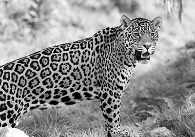יגואר jaguarיגואר  GP-BW-1233_jaguar_wild_cat_predator