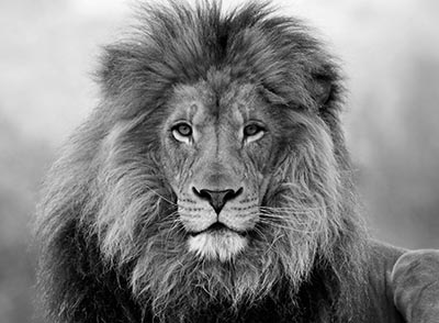 אריהאריה  __lion