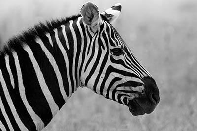 זברהזברה  __zebra