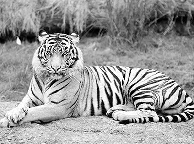 נמרGP-BW-1236__tiger_sitting_  נמר  majestic  נמר