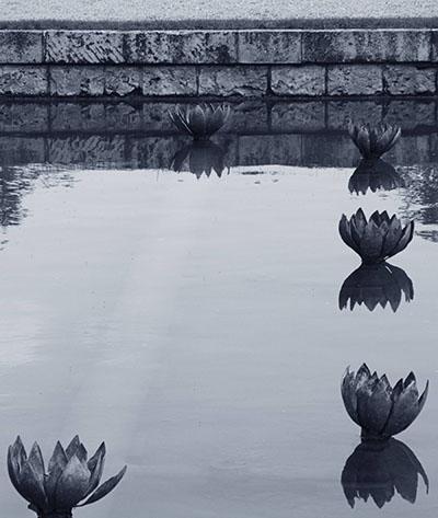 לילי  על המיםפרחים   לילי  על המים