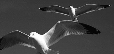 שחפיםשחפים ציפור _ anticipation; Birds; Black and White; flight; Seagulls