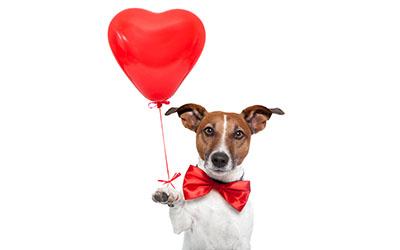 כלב מאוהב _Dogs_Jack_Russell