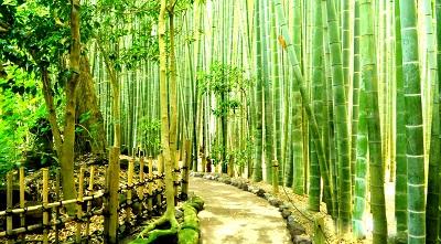 יער במבוק bamboo forestיער במבוק bamboo forest  עצים