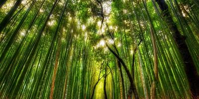 ער במבוק bamboo forestיער במבוק  עצים bamboo_forest___japan_kamakura