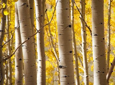 עצים birch treesעצים birch trees