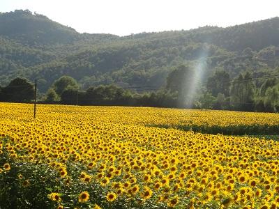שדה צהובשדה צהוב  תמונות של שדות צילומים