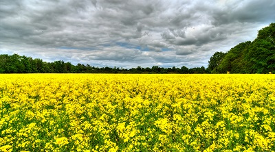 שדה צהוב תמונות של שדות צילומים שדה צהוב