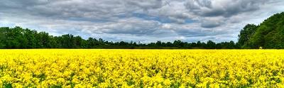 שדה צהוב    תמונות של שדות צילומים