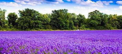 שדה לוונדר lavender fieldשדה לוונדר lavender field