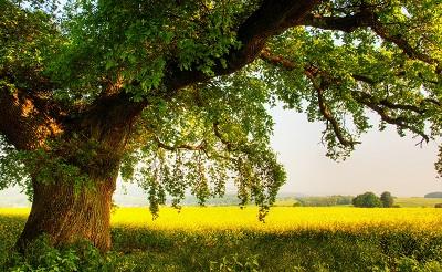 oak treeoak tree   תמונות של שדות צילומים