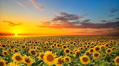 שדה חמניות  sunset over sunflowers field תמונות של שדות צילומים