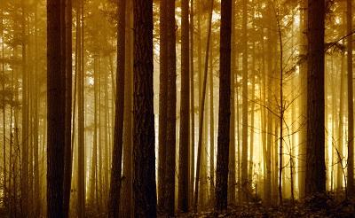 זריחה ביער  foggy forest sunriseזריחה ביער  foggy forest sunrise עצים