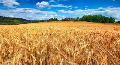 שדה חיטה   golden wheat fieldשדה חיטה   golden wheat field