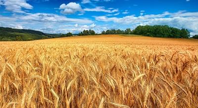 שדה חיטה   golden wheat fieldשדה חיטה   golden wheat field  תמונות של שדות צילומים