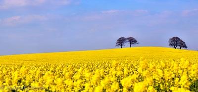 תמונות של שדות צילומים שדות צהובים __first-bluebells