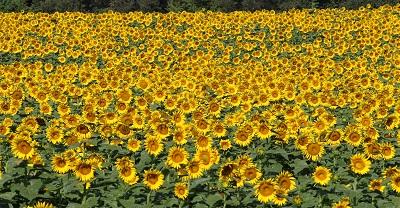 שדה חמניות  שדה חמניות  sunflowers  תמונות של שדות צילומים