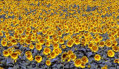 שדה חמניות  sunflowersשדה חמניות  sunflowers   תמונות של שדות צילומים