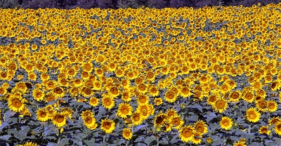 שדה חמניות  sunflowersשדה חמניות  sunflowers